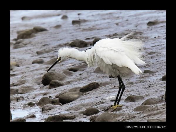 Glasson Dock wildlife by craggwildlifephotography