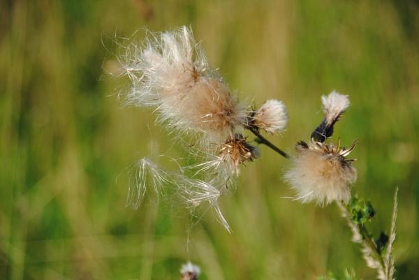 Seed dispersal by Chinga