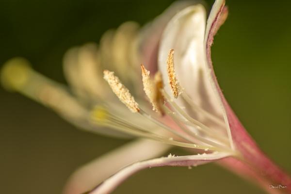 Honeysuckle by DavyB