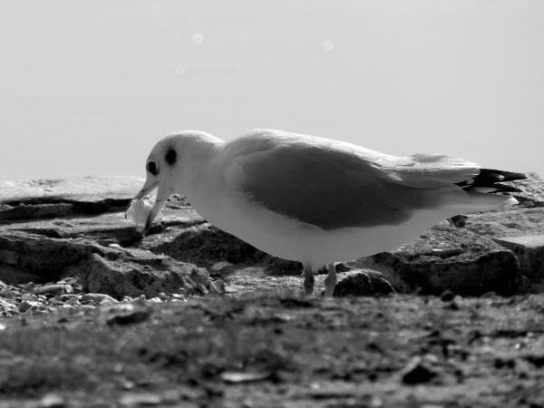 Lunch gull by steve_i