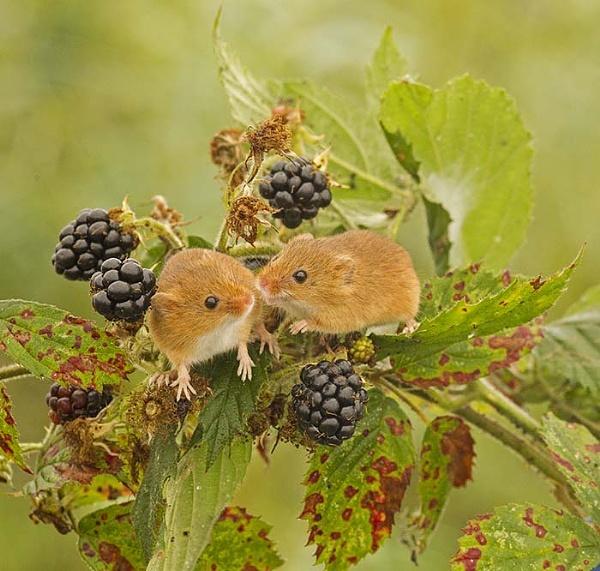 Harvest mice by hibbz