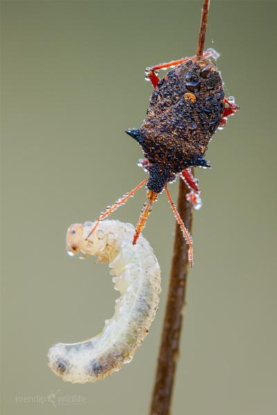 Spiny Shieldbug - Picromerus bidens by Mendipman