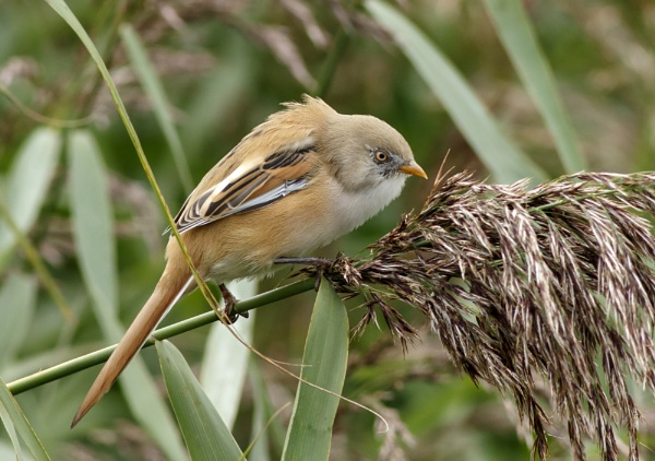 Juvenile Male Bearded Tit by dave1967