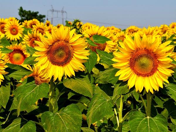 4619-sunflowers field by binder1