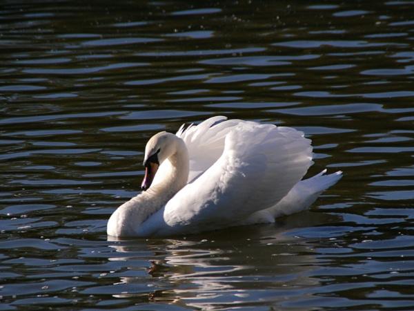 Swan by ianball