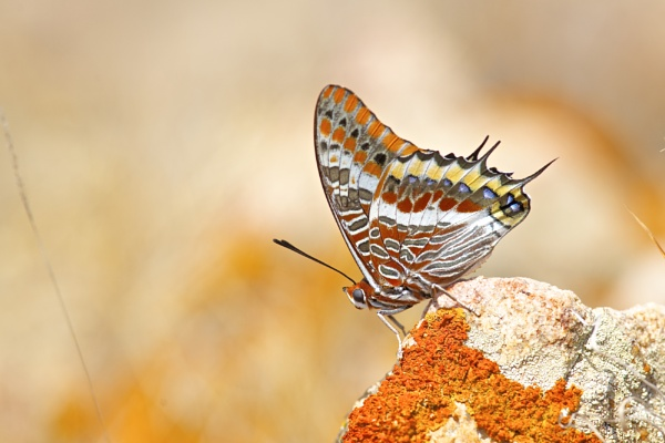 Charaxes jasus on the rocks by alcontu