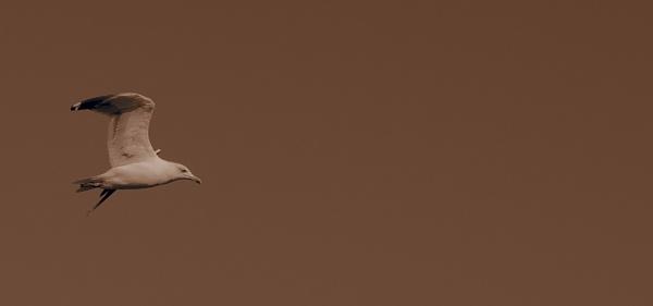 Seagull by onursevket