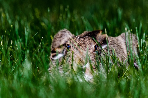 Baby Hare by Marty_Woodcock