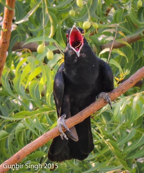 Asian Koel Male Calling by GunbirSingh