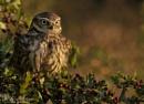 Autumn Little Owl (c) by VinceJones
