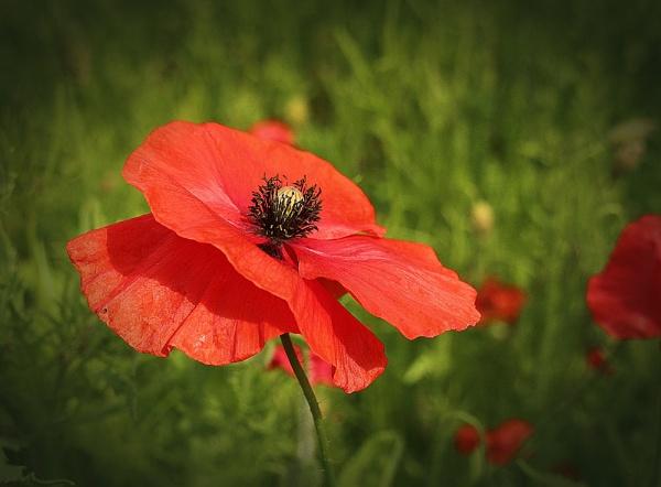 Poppy... by ChristineD