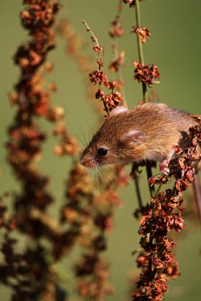 Field Mouse by AnthonyEB