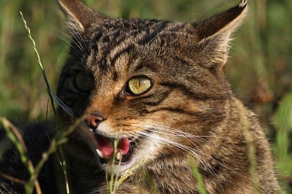 Scottish Wild Cat by AnthonyEB