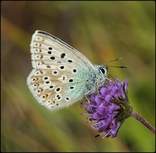 Male Chalkhill Blue on Devilsbit Scabious by Glostopcat