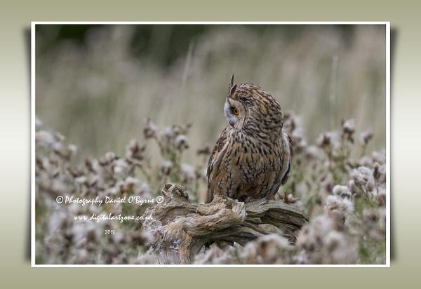 Long Eared Owl by danob