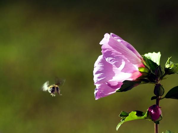 Bee In Flight by bearmtn
