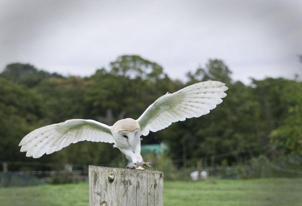 Barn Owl by Karazor