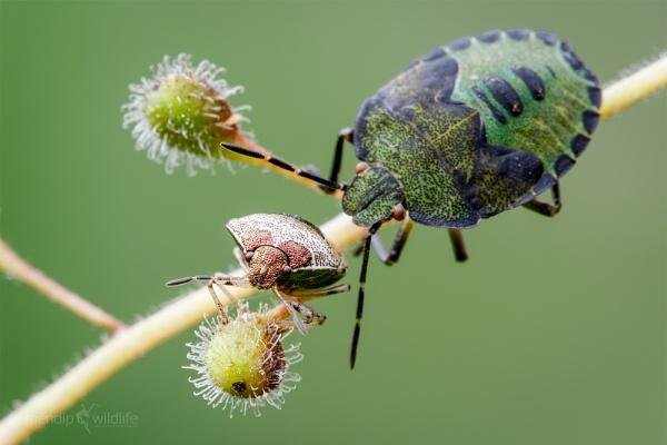 Woundwort Shieldbug - Eysarcoris venustissimus vs Common Green Shieldbug - Palomena prasina by Mendipman