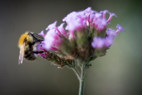 Bee on flower by celtxian