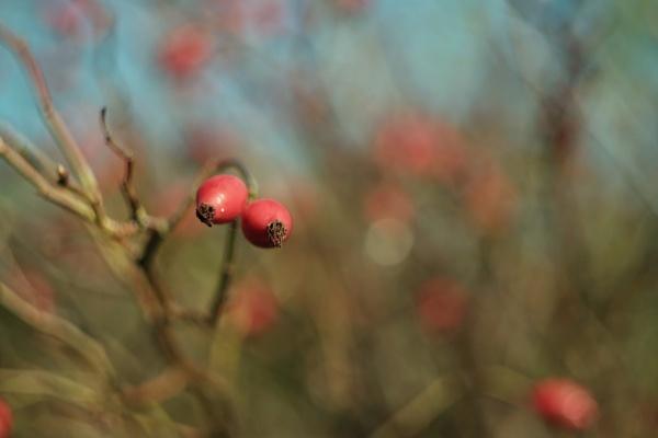 rosehips by AlexandraSD