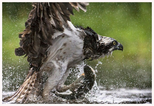 Osprey with catch by AnnJ