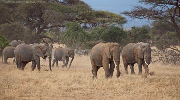 Elephants of Amboseli N.P. Southern Kenya by brian17302