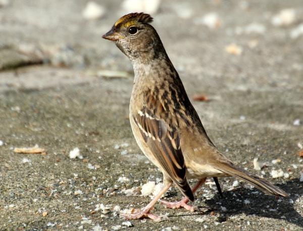 Sparrow  Annoyed by tonyguitar