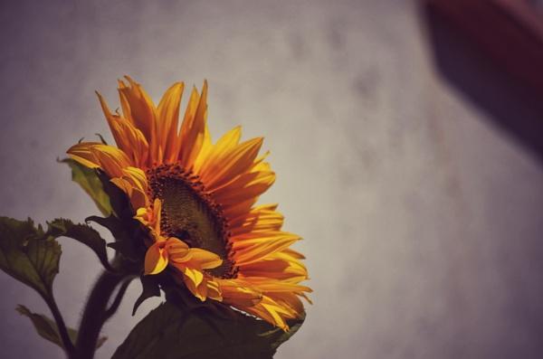Sunflower by scruffytrafford