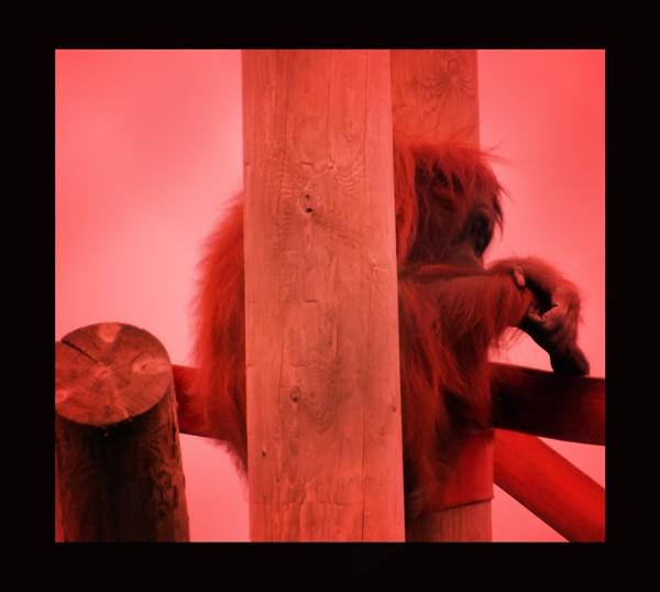orangutang by ZoeKemp