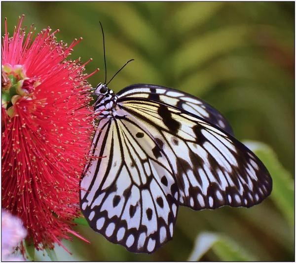 Paper kite(Idea leuconoe) butterfly by fotobee
