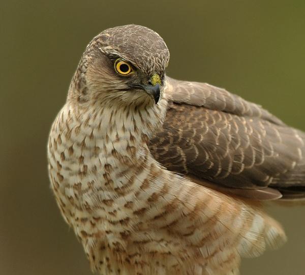 Sparrowhawk by RomanyBill