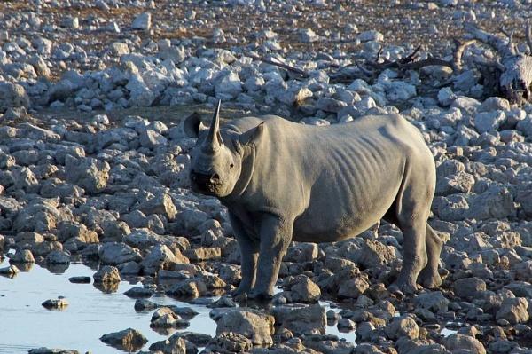 Rhino by jinstone