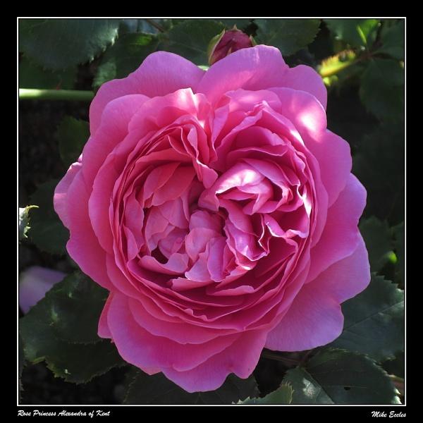 Rose Princess Alexandra of Kent by oldgreyheron