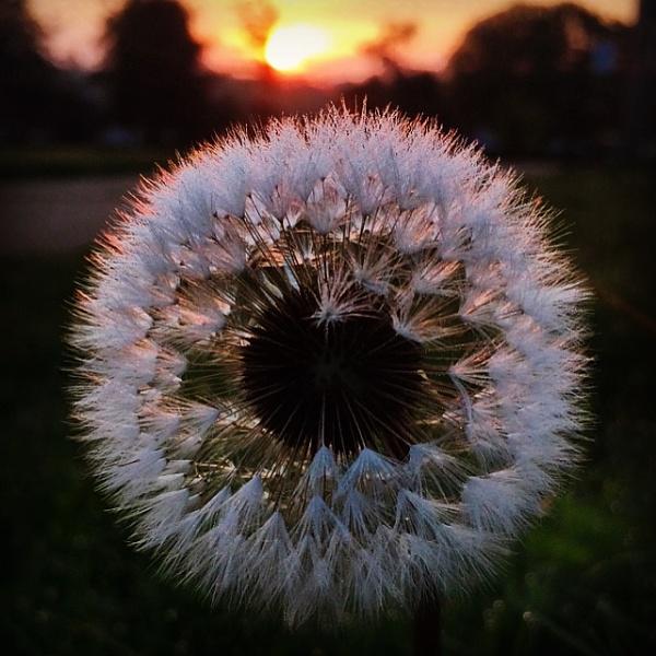 Dandelion Sunrise by gossyboy