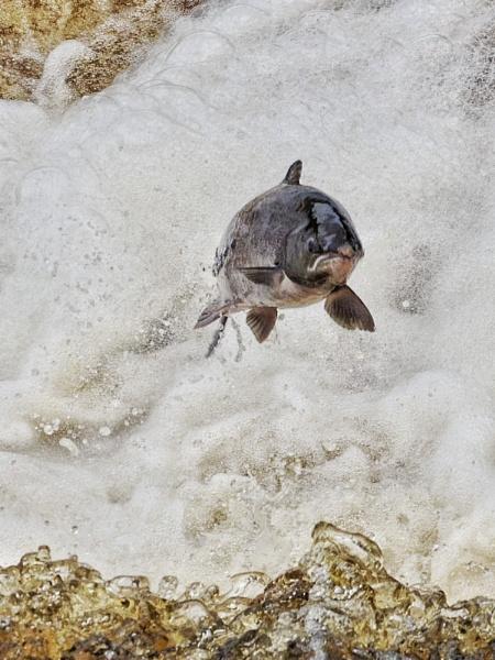Salmon by icphoto