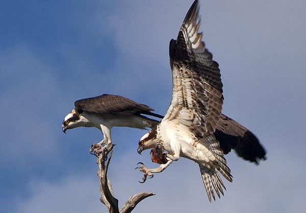 Osprey Courtship by jbsaladino