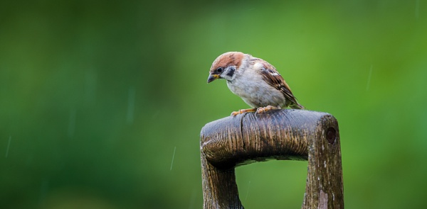 Tree Sparrow by jasonrwl