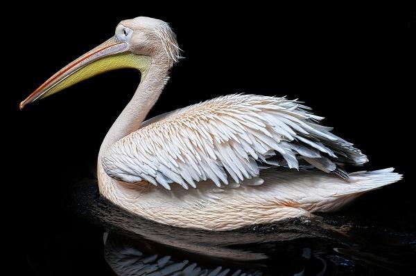 Pelican by Steinmachine