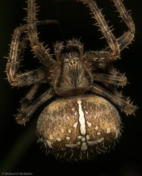Araneus diadematus Garden spider by RichardMc