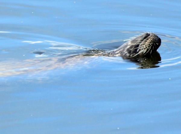 Seal  Goofyness by tonyguitar