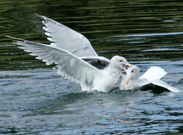 Gull  Stamina by tonyguitar