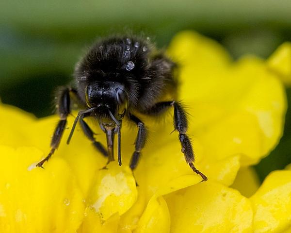 Bee Rescue by foxdownspringflower
