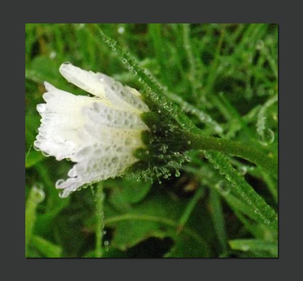 Frosty dewdrop daisy by ZoeKemp