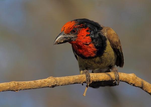 Black Collared Barbet. by johnke