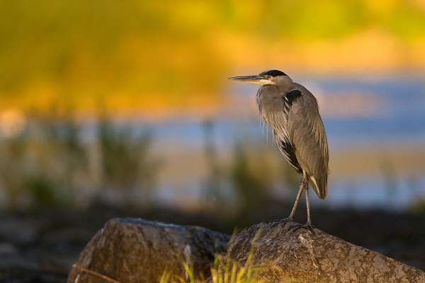 Heron in fall by jacques st-jean