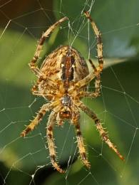 Garden Spider-Araneus diadematus.