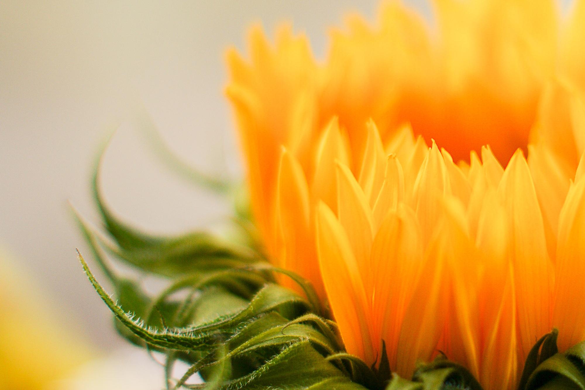 Sunflower Seduction