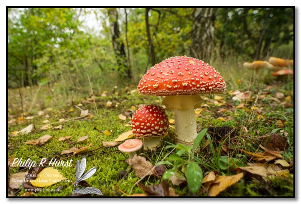 Fly Agaric by Philh04
