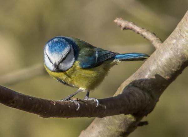 blue tit by madbob