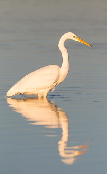 Great White Egret Fishing by Paintman